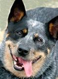 Australian cattle dog. Very happy australian cattle dog Stock Images