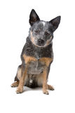 Australian cattle dog. Front view of an Australian cattle dog also known as kelpie, sitting, isolated on a white background stock photography