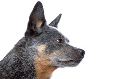 Australian cattle dog. Head of Australian cattle dog (Kelpie, Barb) isolated on a white background. Profile stock image