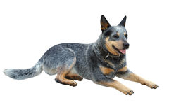 Australian Cattle Dog. Isolated with clipping path royalty free stock photography
