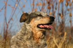 Australian Cattle Dog. In brown winter grass and reeds in winter sunshine, late afternoon Royalty Free Stock Image