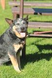 Australian Cattle Dog. Tricolor dog Stock Photo