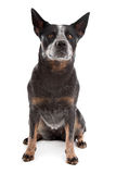 Australian Cattle Dog. In front of a white background royalty free stock images