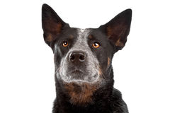 Australian Cattle Dog stock image