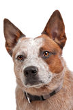Australian Cattle Dog. In front of a white background stock photography