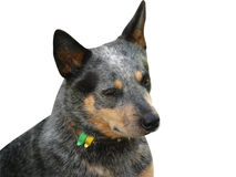 Australian Cattle Dog stock photos