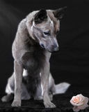 Australian cattle dog. Portrait of an Australian cattle dog looking at a pink rose on a black background Stock Image