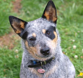 Australian Cattle Dog. With Black Eye Patch royalty free stock photo