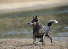 AUSTRALIAN CATTLE DOG. (aka Blue heelers) Karte Dinkum Aussie Royalty Free Stock Photography