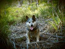Australian cattle dog. Also known as a blue heeler Royalty Free Stock Image