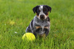 Australian Cattle Dog with Baseball. An Australian Cattle Dog (also known as Blue Heelers) takes a break beside a baseball royalty free stock photo