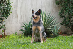 Australian Cattle Dog Blue Heeler ACD. An Australian Cattle Dog, also called Blue Heeler or Queensland Heeler. This dog is sitting waiting for his owner to give stock photos