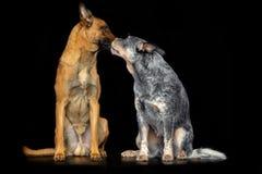 Australian Cattle Dog, Blue Heeler Dog and Belgian Shepherd Dog, malinois Isolated on Black Background. In studio royalty free stock photo
