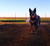 Australian cattle dog. A blue heeler on a farm Royalty Free Stock Images