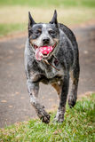 Australian Cattle Dog (Blue Heeler) Fetching a Ball Royalty Free Stock Image