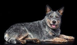 Australian Cattle Dog, Blue Heeler Dog Isolated on Black Background. In studio royalty free stock images