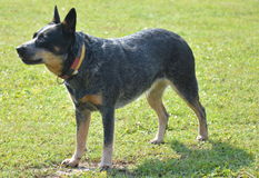 Australian cattle dog. Breed of dog stock photos