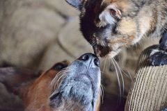 Australian Cattle Dog and Cat Touch Noses royalty free stock photos