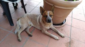 Australian Cattle Dog. A dog chillin& x27; and thinking about the future Stock Photography