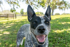 Australian Cattle Dog close up. Australian Cattle Dog or Blue Heeler dog close up outside in yard or natural setting panting and looking happy curious interested Stock Images