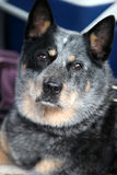 Australian Cattle Dog Royalty Free Stock Photo