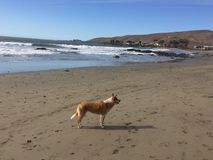 Queensland heeler australian cattle dog on cayucos beach with rocks Stock Photo