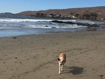 Queensland heeler australian cattle dog o cayucos beach with pier and hills in background. The Australian Cattle Dog is an extremely intelligent, active, and Royalty Free Stock Photography