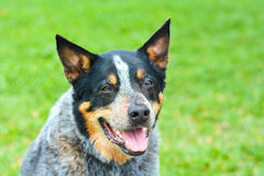 Australian cattle dog Stock Images