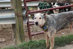 Australian cattle dog helping on the farm.  Stock Photo