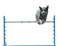 Australian Cattle Dog Jumping Royalty Free Stock Photography
