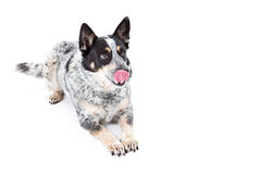 Australian Cattle Dog Laying Tongue Out Stock Image