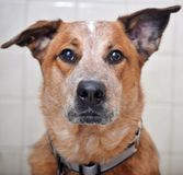 Australian Cattle Dog Looking at camera royalty free stock photography