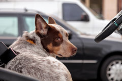 Australian cattle dog. Looks over his shoulder while behind the wheel of a car Stock Photos