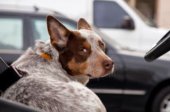Australian cattle dog. Looks over his shoulder while behind the wheel of a car Royalty Free Stock Photo