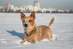 Australian Cattle Dog Royalty Free Stock Photos