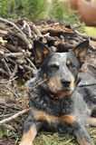 Australian Cattle Dog in the Mountains stock photography