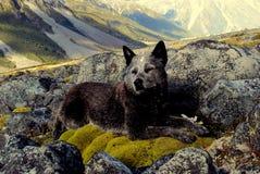 Australian cattle dog in New Zealand. Australian cattle dog on the moss, New Zealand Stock Images
