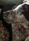 Australian Cattle Dog Stock Images