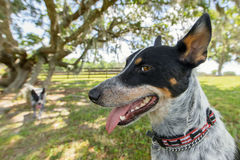 Australian Cattle Dog outside Royalty Free Stock Photos
