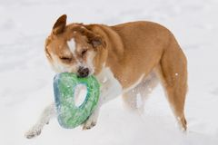 Australian cattle dog playing fetch with a disc in the snow in the snow. Australian cattle shepherd red heeler mix breed playing fetch in the snow with a disc stock photography