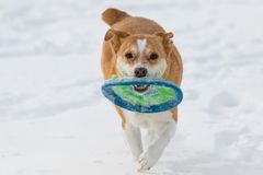 Australian cattle dog playing fetch with a disc in the snow royalty free stock image