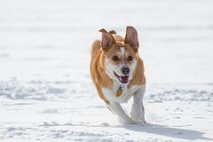 Australian cattle dog playing fetch in the snow. Australian cattle shepherd red heeler mix breed playing fetch in the snow with a catching disc royalty free stock images