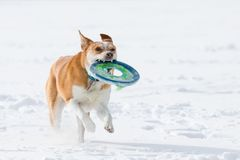 Australian cattle dog playing fetch in the snow in the snow. Australian cattle shepherd red heeler mix breed playing fetch in the snow with a catching disc royalty free stock photography