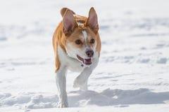Australian cattle dog playing fetch in the snow. Australian cattle shepherd red heeler mix breed playing fetch in the snow with a catching disc royalty free stock photos