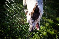 Australian cattle dog playing in sprinkler. Australian cattle dog playing with sprinkler in backyard Stock Image