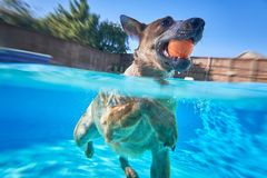 Australian cattle dog in pool stock photos