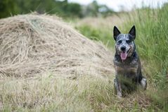 Australian Cattle Dog Portrait Stock Images