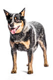 Australian Cattle Dog. Portrait of a australian cattle dog on a white background Stock Images