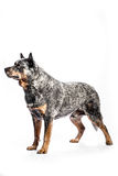Australian Cattle Dog. Portrait of a australian cattle dog on a white background Stock Photography