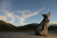 Australian Cattle Dog. Poses for a portrait Stock Image